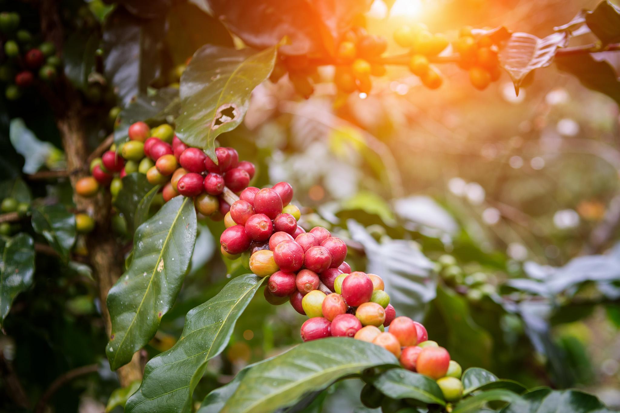 Kaffeplante - Wittusen & Jensen